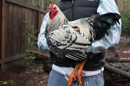 silver laced wyandotte rooster