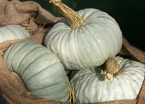 winter squash picture