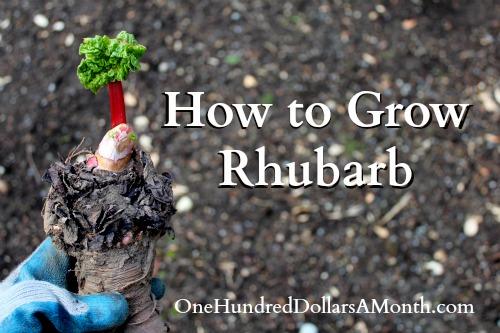 how to grow rhubarb