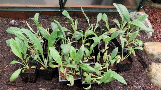 8 weeks artichoke seedlings