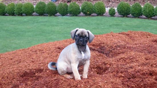 brown puggle dog 12 weeks