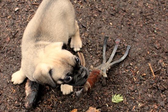 tan puggle dog