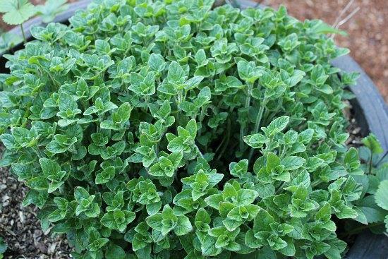 oregano container herb garden