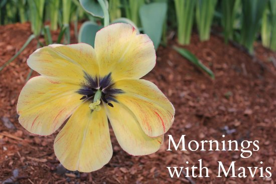 yellow tulip fully opened