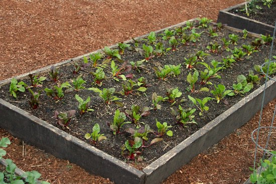DIY Raised Garden Bed Swiss Chard