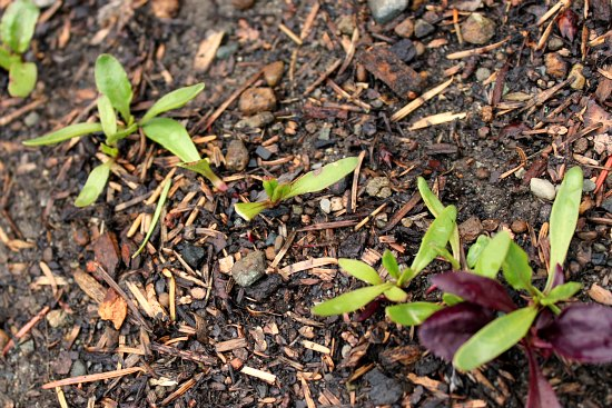 beet seedlings