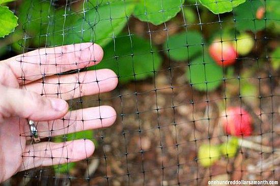 ¿Cómo puedo mantener a las aves fuera de mis uvas?