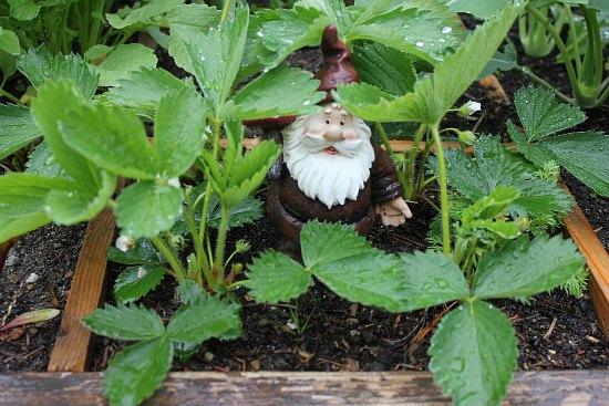 garden gnomes strawberries