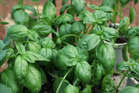 how to grow organic basil