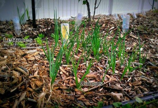 onions growing in mulch