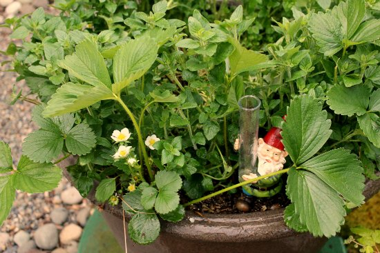 organic gardening oregano strawberries