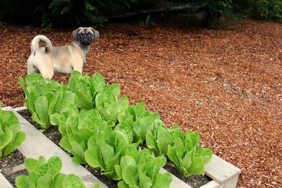 pallet gardening lettuce puggle