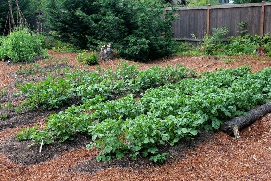 raised garden beds potatoes