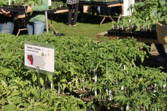 tomato plants, Seattle tilth