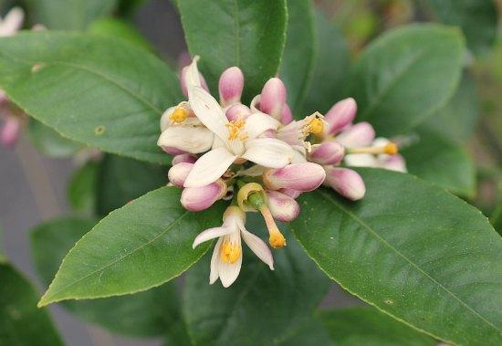 Meyer Lemon Blossom