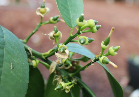 meyer lemon buds