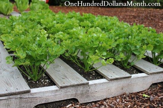 pallet gardening celery