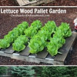 Wood Pallet Garden Pictures- Lettuce, Strawberries, Celery and Lettuce