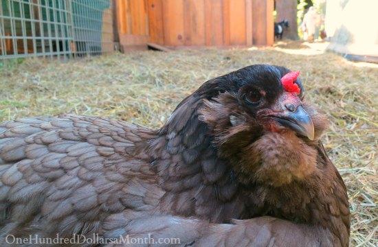 black australorp chicken