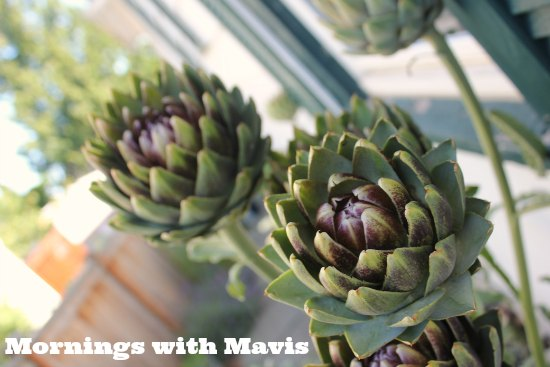 blooming artichoke