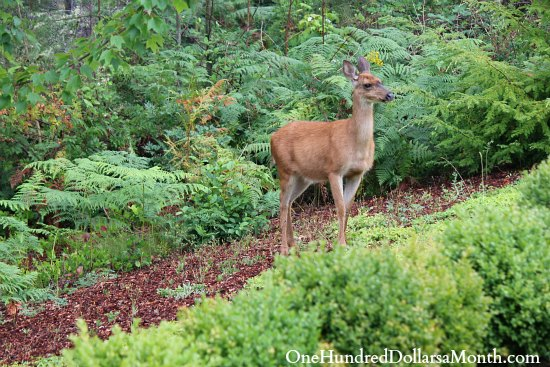 How to Keep Deer Out of Your Garden Stop Feeding Them