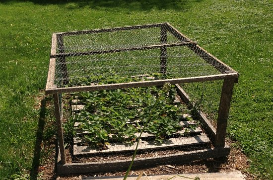 strawberry pallet garden