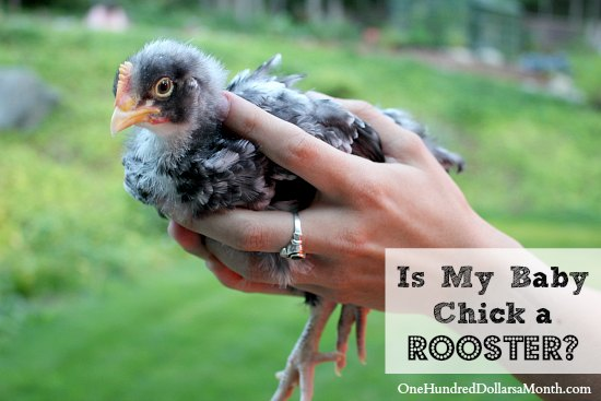 How Can I Tell If My Baby Chick is a Rooster
