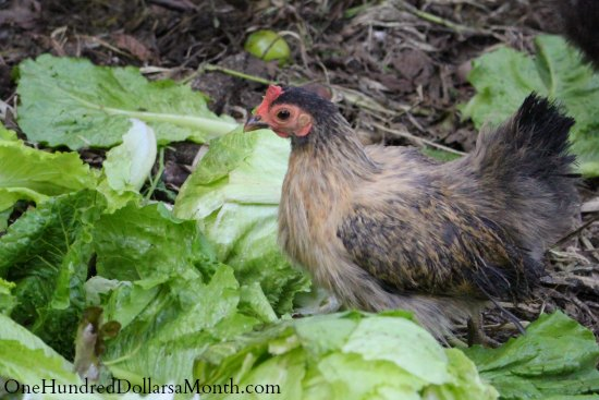 bantam chicken brown