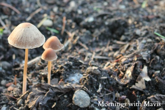 mushroom mornings with mavis