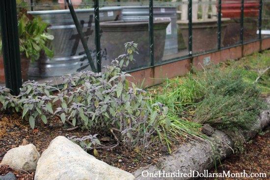 winter herbs sage