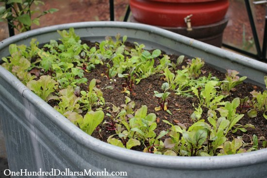 winter lettuce in a tub