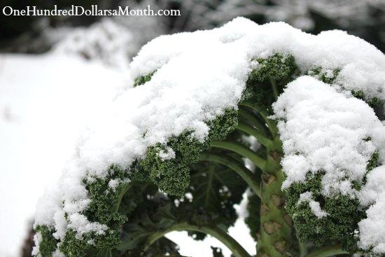 kale snow