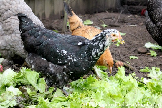 mottled java chicken pullet
