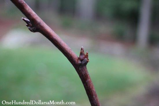 raspberry cane bud