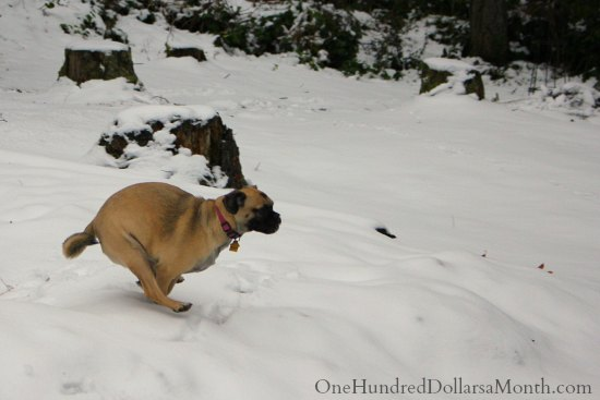 puggle dog running in snow