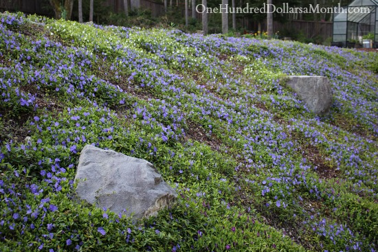 periwinkle in bloom