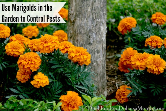 Use Marigolds in the Garden to Control Pests