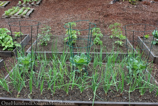 raised garden beds with tomatoes and onions