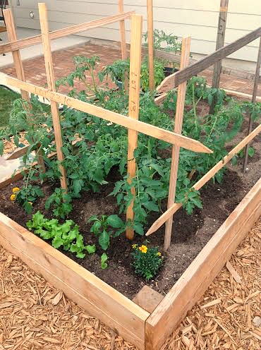 tomatoes growing in a garden box