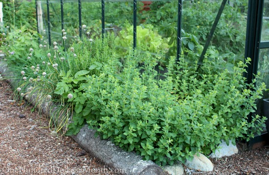 organic oregano growing along side a greenhouse