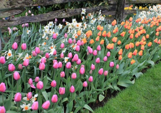 mass-planting-tulip-beds