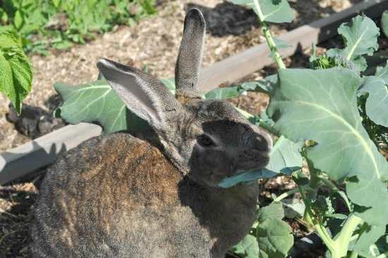bunny eating cabbage leaves
