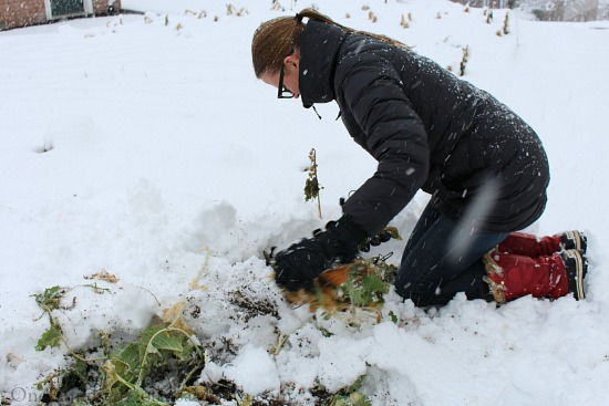 harvesting winter vegetables in the snow