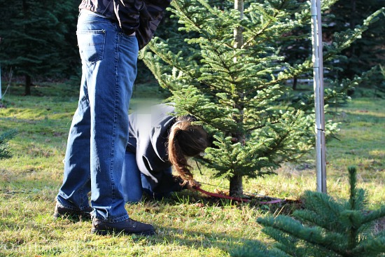 chopping down a christmas tree