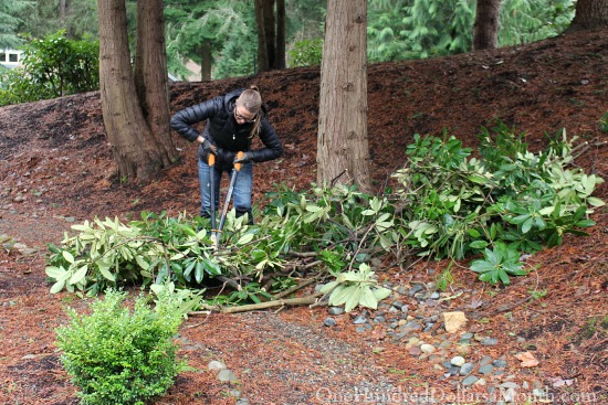 cutting rhododendrons