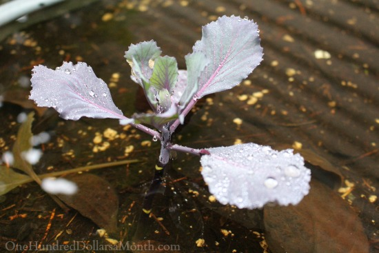 water cabbage
