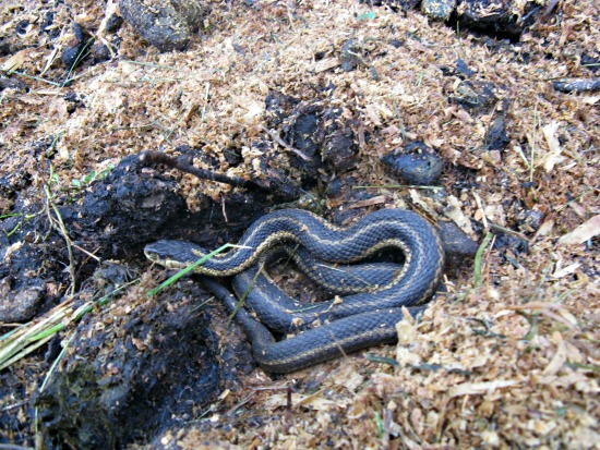 snake in compost
