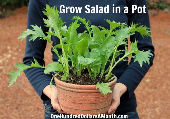 Container-Gardening-Idea-Grow-Salad-in-a-Pot