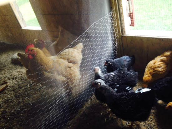inside chicken coop photos