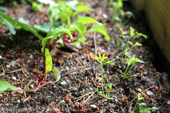 beet carrot seedlings